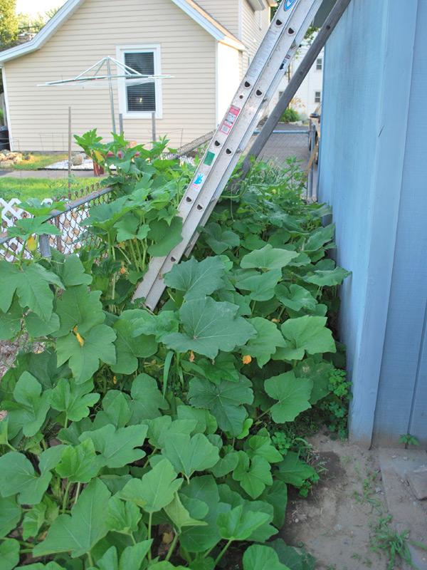 Our 2010 pumpkin garden