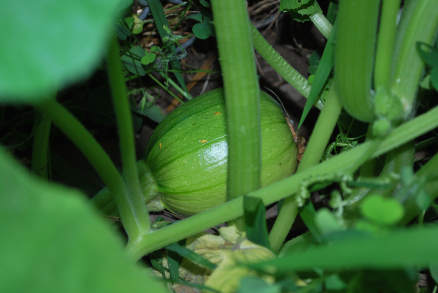 One of our first pumpkins for 2010